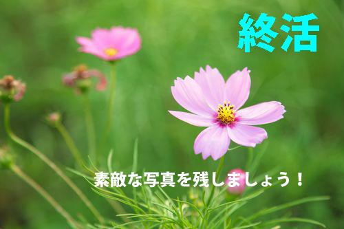 GAK85_pinkkosumosuのコピー